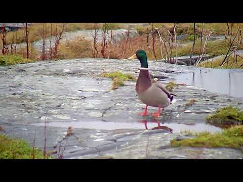 Stokkender inntar Fugløya
