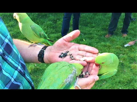 The Wild Parakeets of Hyde Park in London, U.K.