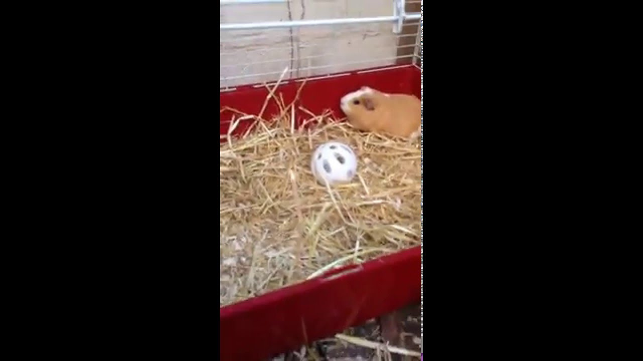 Guinea pig noise? Happy or Scared? - YouTube
