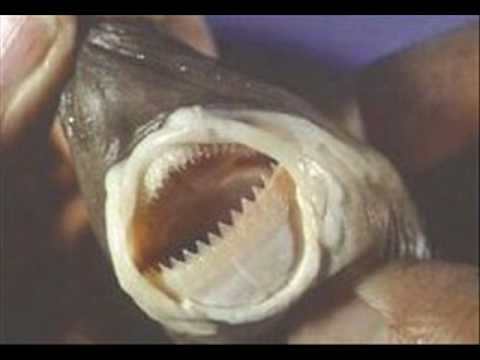 cookie cutter shark  YouTube