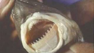 cookie cutter shark