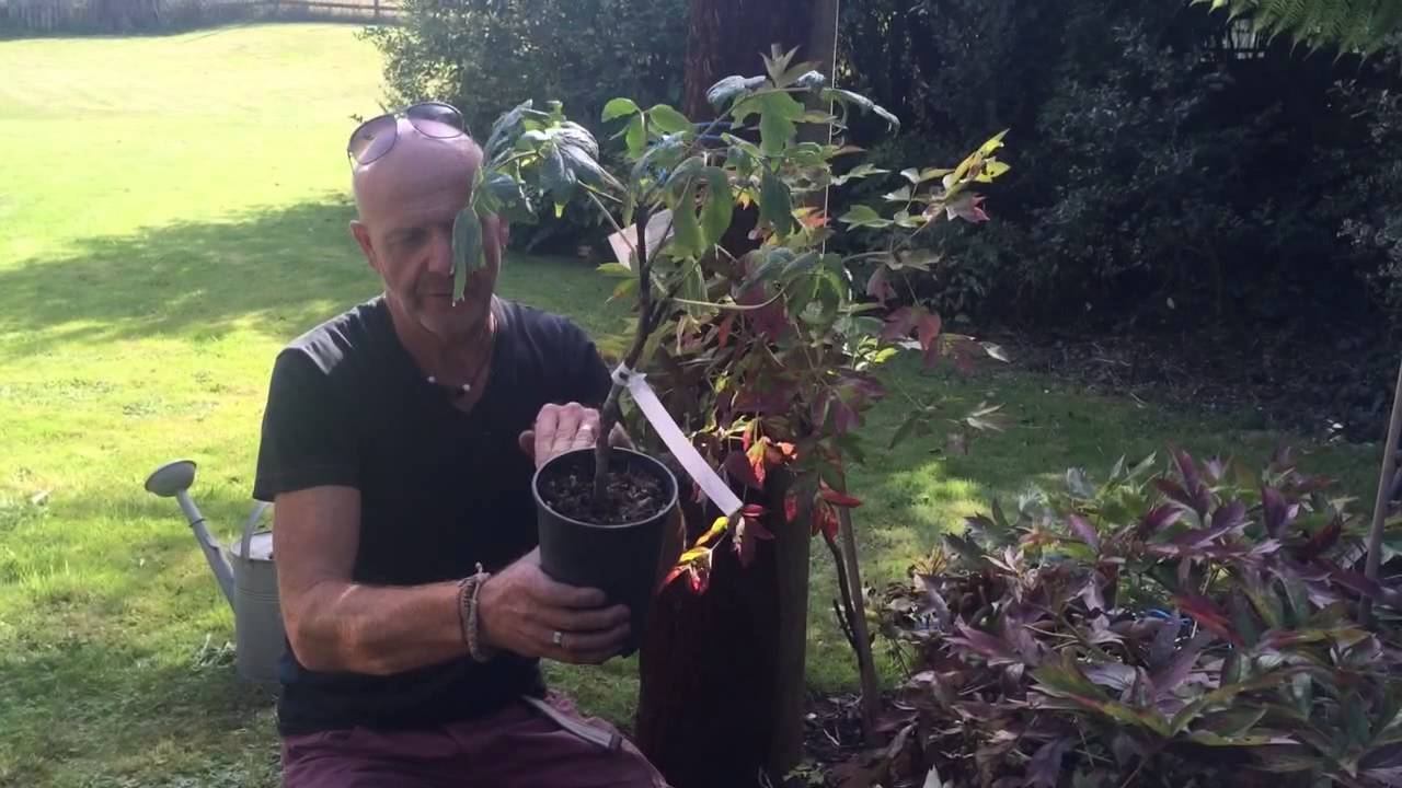 How to Grow Tree Peonies recommendations