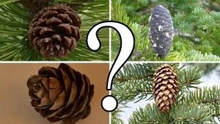 HOW TO DISTINGUISH BETWEEN PINE, SPRUCE, FIR, and LARCH | CONIFER ID