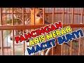Anis Merah Gacor Isian Mewah Cocok Untuk Pancingan  Mp3 - Mp4 Download