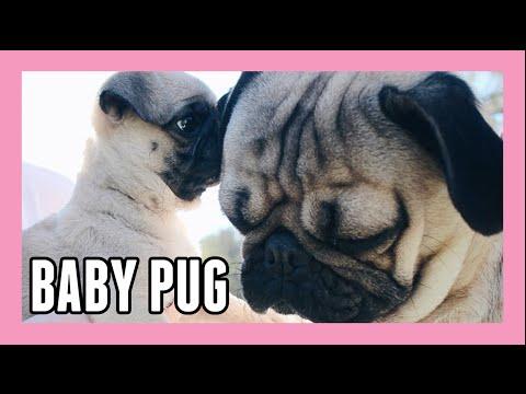 Baby Pug Meets Doug | Doug the Pug