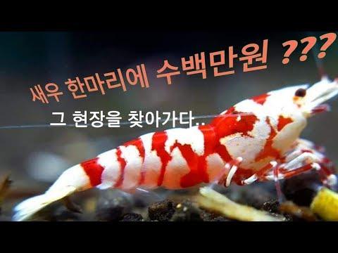 새우 한마리에 수백만원???... High quality Shirimp