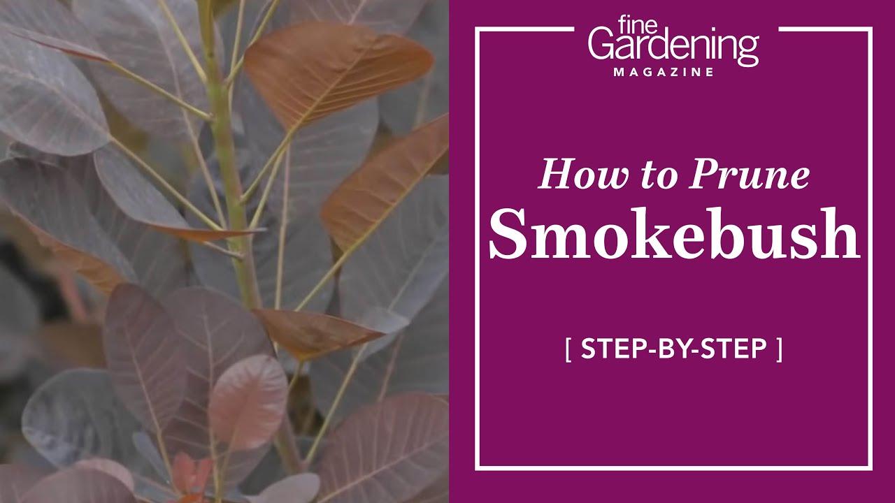 How To Prune Smokebush Youtube