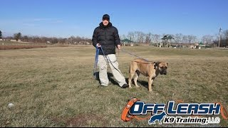 Dog Training: 2 Year Old Bullmastiff, Preston! Before/after 2 Week Board And Train!
