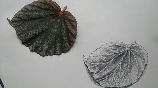 How to draw a Leaf - Pencil Drawing