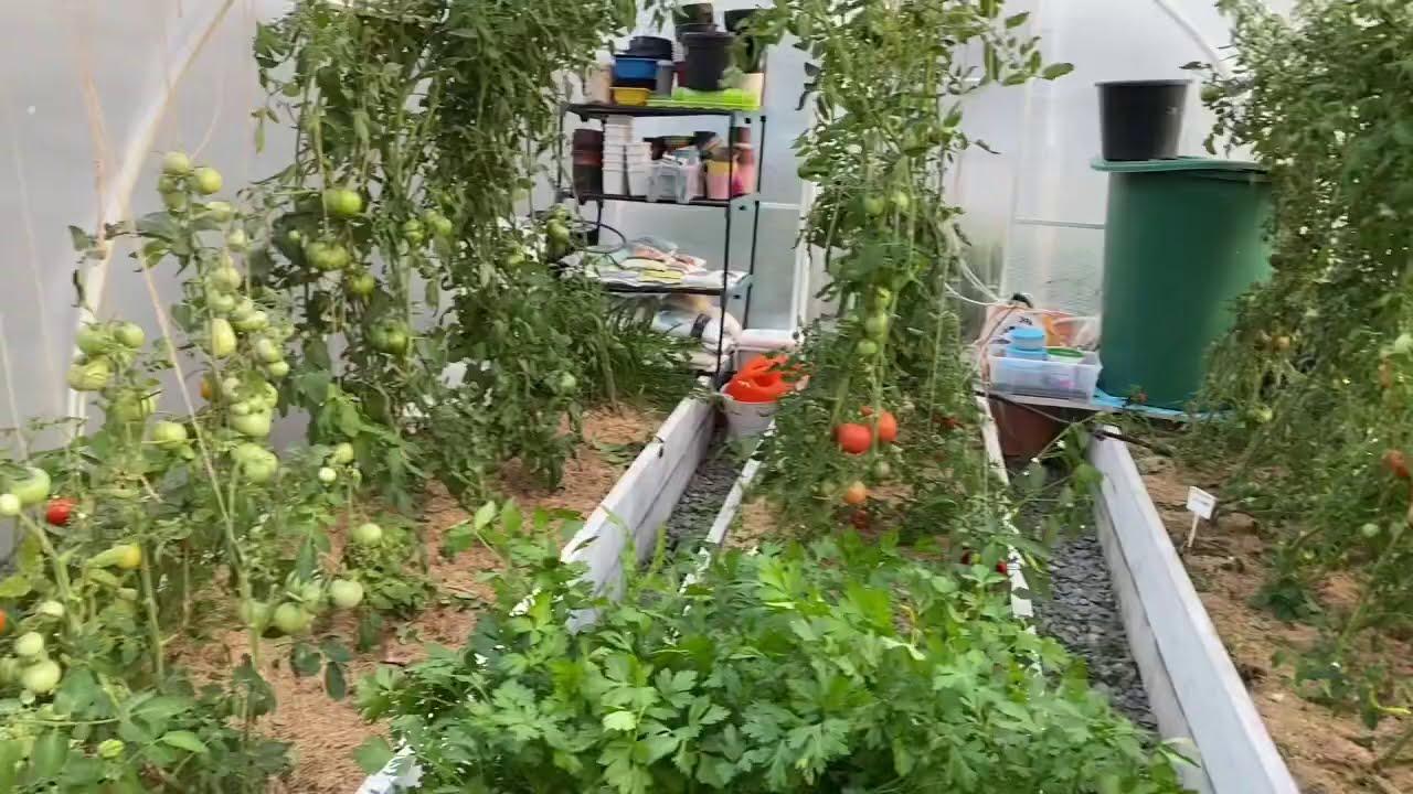 Моя теплица томатов август 🍅 привожу  в порядок