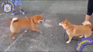 Собака Бьёт Собаку ... ПОПОЙ !!!