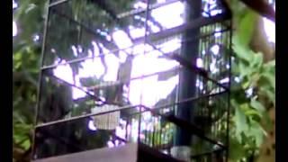 Burung kipasan belang Gacor