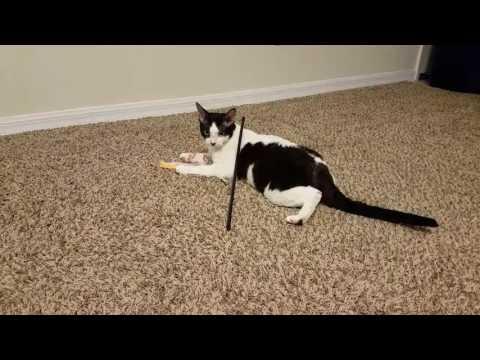 Cotton Rockit the Devon Rex cat plays with BB8 toy