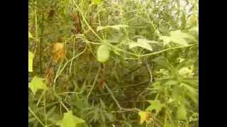 http://www.mathstrength.com-Hamei  -Planta medicinala -Farmacia naturii