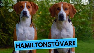 Hamiltonstövare  Hamilton Hound  TOP 10 Interesting Facts