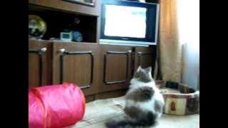 Кошка смотрит телевизор про бабуинов!