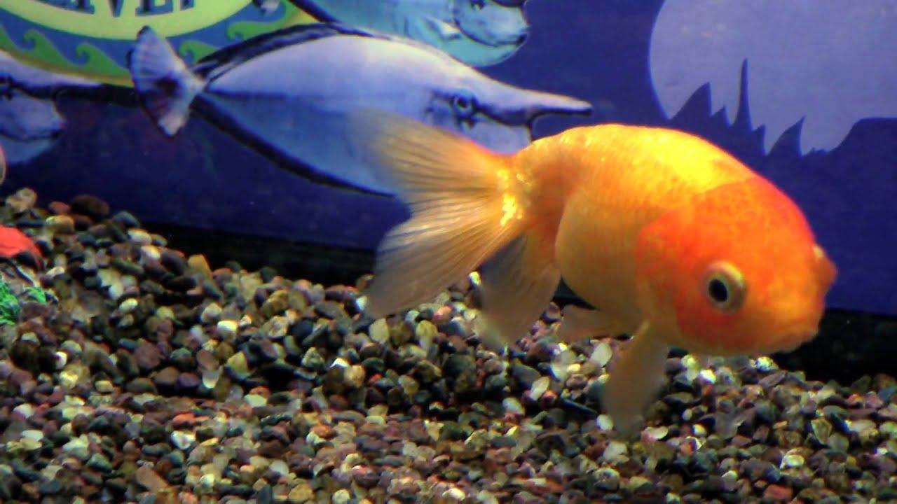 Pet fish doing tricks for betta fish tank mates for for Cool pet fish