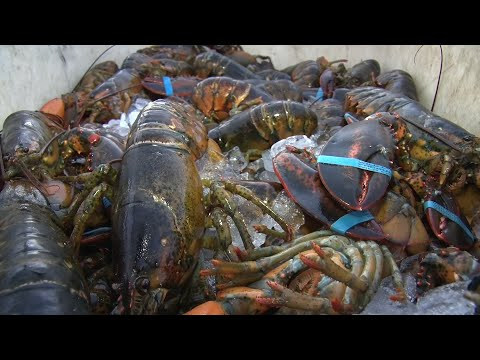 Forget Maine, Jersey Fisherman Catch Quality Lobsters
