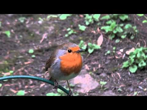 UK Robin song.and Alarm call.