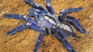 MOST DANGEROUS Spiders In The World - TOP 10