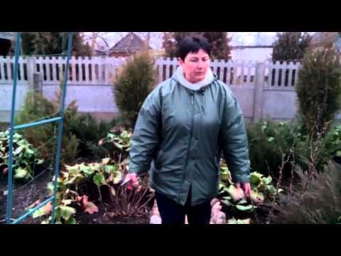 видео: Бадан толстолистный. Канал: Сад, огород и не только...