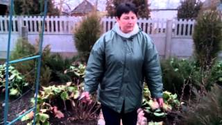 Бадан толстолистный. Канал: Сад, огород и не только...