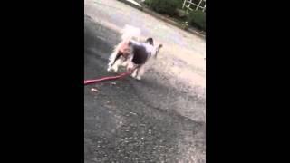 夏のお散歩。六甲山! Chinese crested dog! Chopin & Namna! Cute!