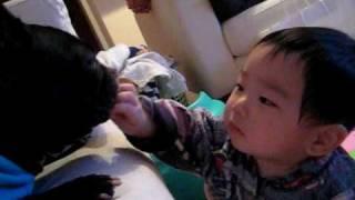 11ヶ月の赤ちゃんがペットのフレンチブルを真剣なまなざしで見つめます。