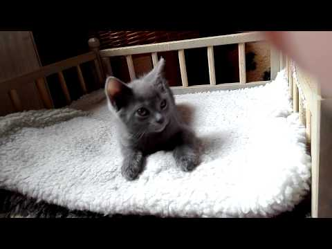 Blue Melody Chartreux Cats - IVOR 8weeks old