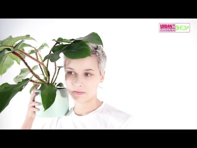 JORGE - Philodendron Squamiferum
