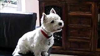 Westie Watching Movie