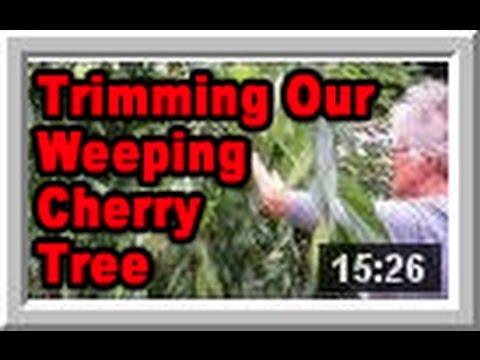 Weeping Cherry Tree Wisconsin Garden Video Blog 535