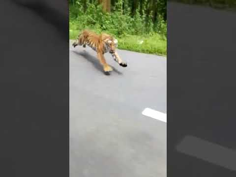 El increíble vídeo en el que dos motoristas se libran del ataque de un tigre en el último segundo