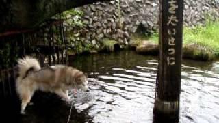 家の近所の湧水で遊ぶ銀!