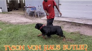 Butler Kennels Rottweilers  producing MONSTERS.    8436703346