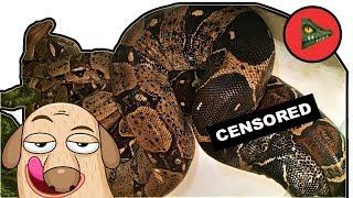 Даже змеи занимаются сексом, а ты нет! (с) О ЗИМОВКЕ И СПАРИВАНИИ УДАВОВ.🐍