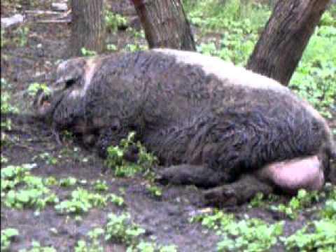 walking up to a huge wild boar - YouTube Giant Wild Boar Photos