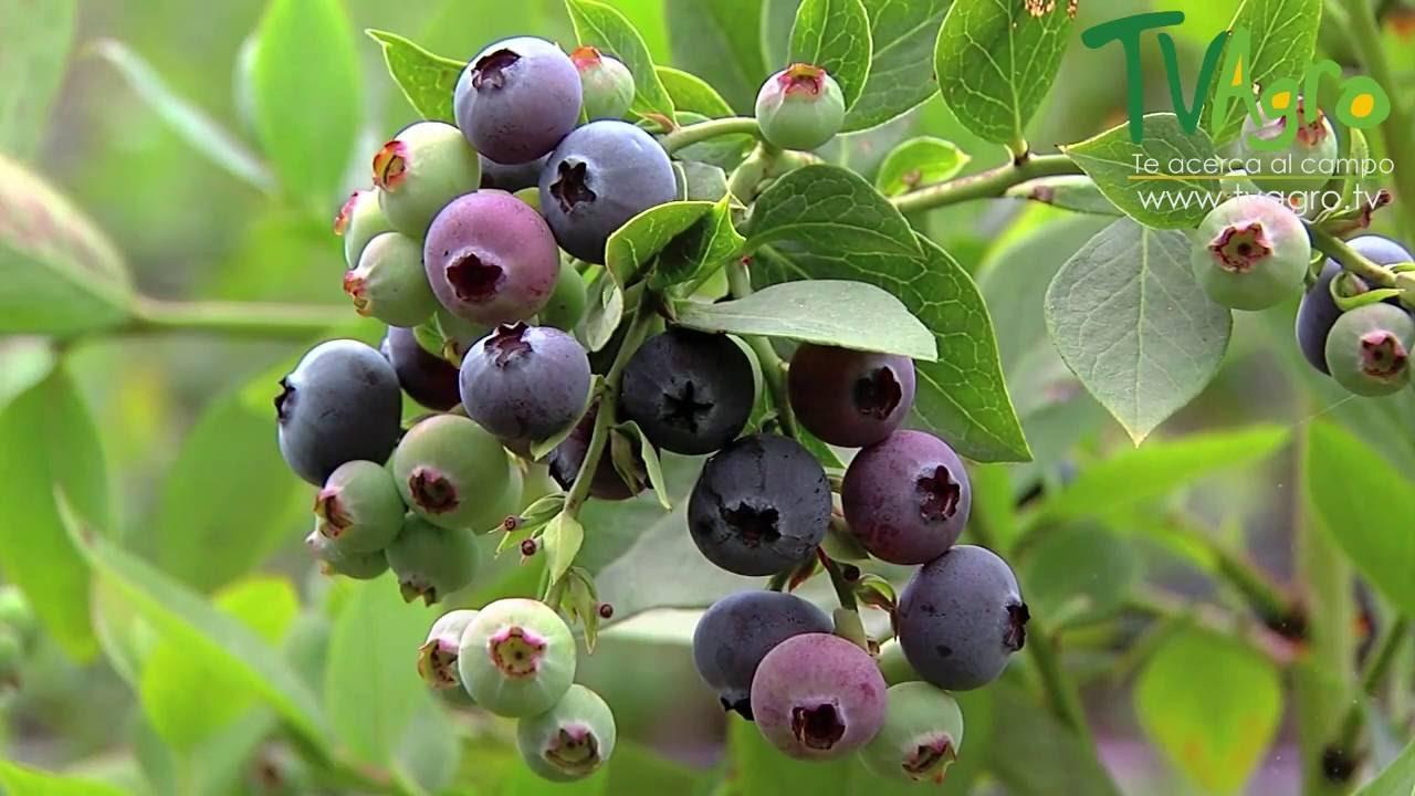1000 Images About R4 N8ow On Pinterest: Arándano, Una Fruta Con Potencial De Exportación