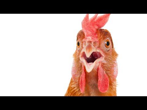 رنة-ديسباسيتو-بصوت-الدجاج-جامدة-هتموت-علي-نفسك-من-الضحك-funny-sonnerie-despacito