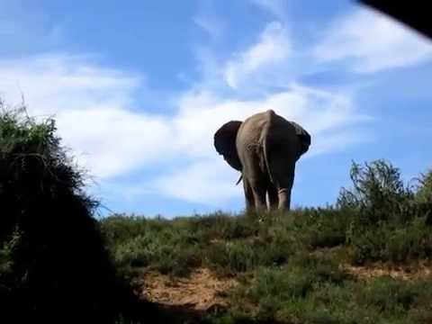 Shitting and pissing elephant