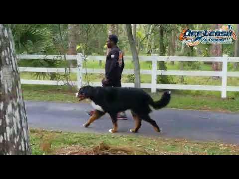 Aston the leash pulling 140 lb Bernese Mountain Dog