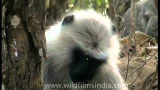 Grey langur scratching his head while eating