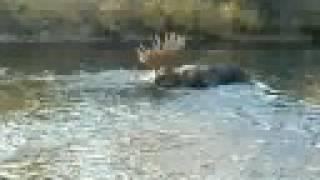 """74"""" alaskan moose"""