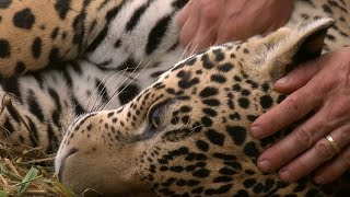Jaguar Orphan Fights Mystery Illness | Jaguars Born Free | BBC Earth