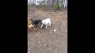 My Sharpei And Bulldog Playing