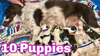 Our Dog Giving Birth to 10 Puppies (First Litter) Brittany Spaniel
