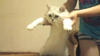 Танцующий  кот.