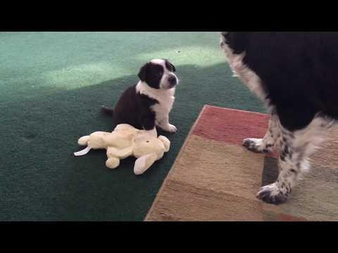 2018 English Shepherd Puppies: 5 weeks old #4: Stiles Family Farm