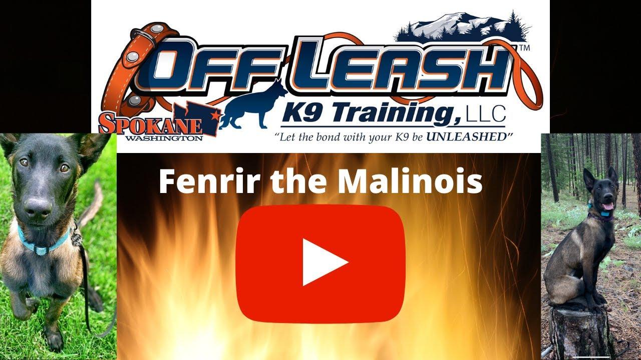"6month old Belgian Malinois "" Fenrir"" Off Leash Obedience   Off Leash K9 Training Spokane WA  "