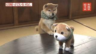 「和風総本家 豆助っていいな。」七代目豆助①/Japanese Shiba Inu thumbnail